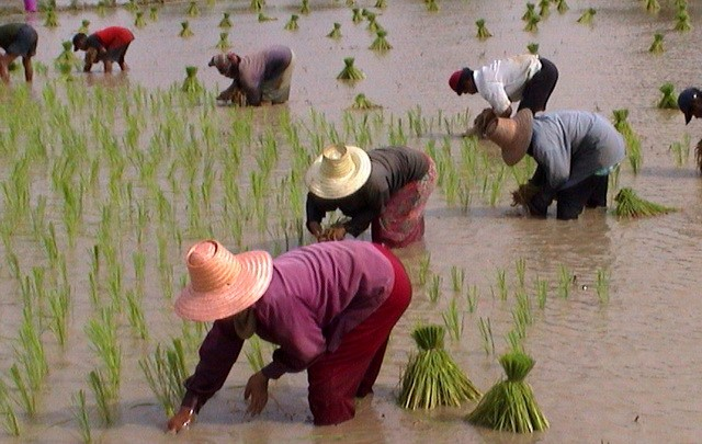 THAILAND RICE CULTIVATION