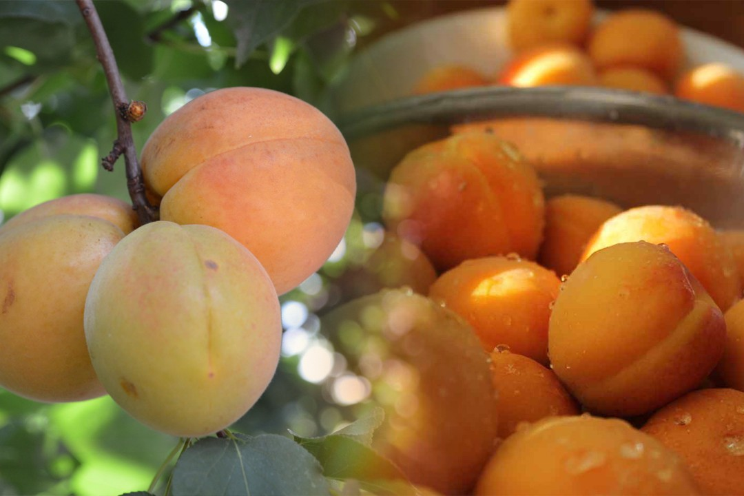 top countries with most apricot production in the world