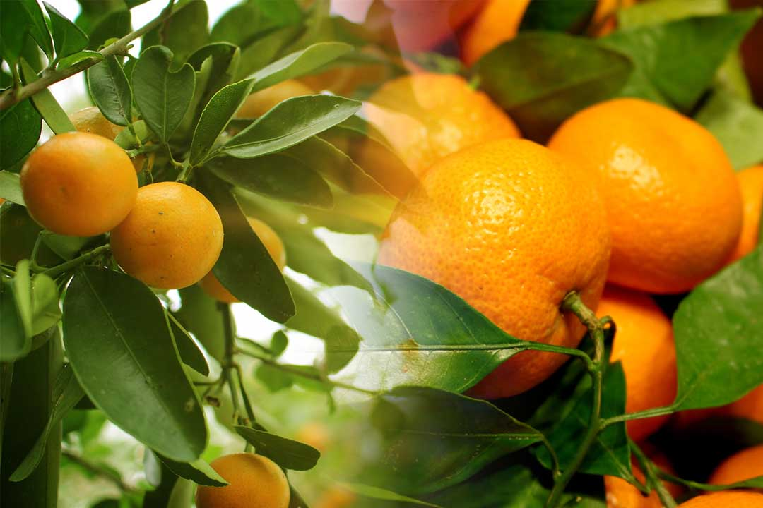 top oranges producing countries