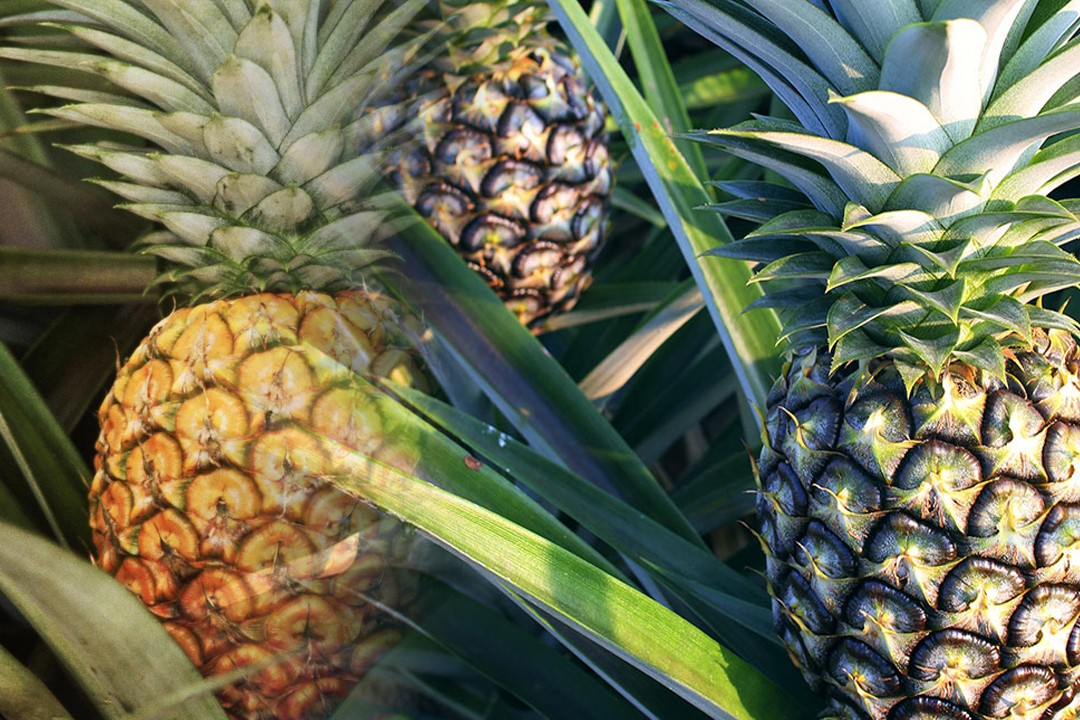 pineapples production