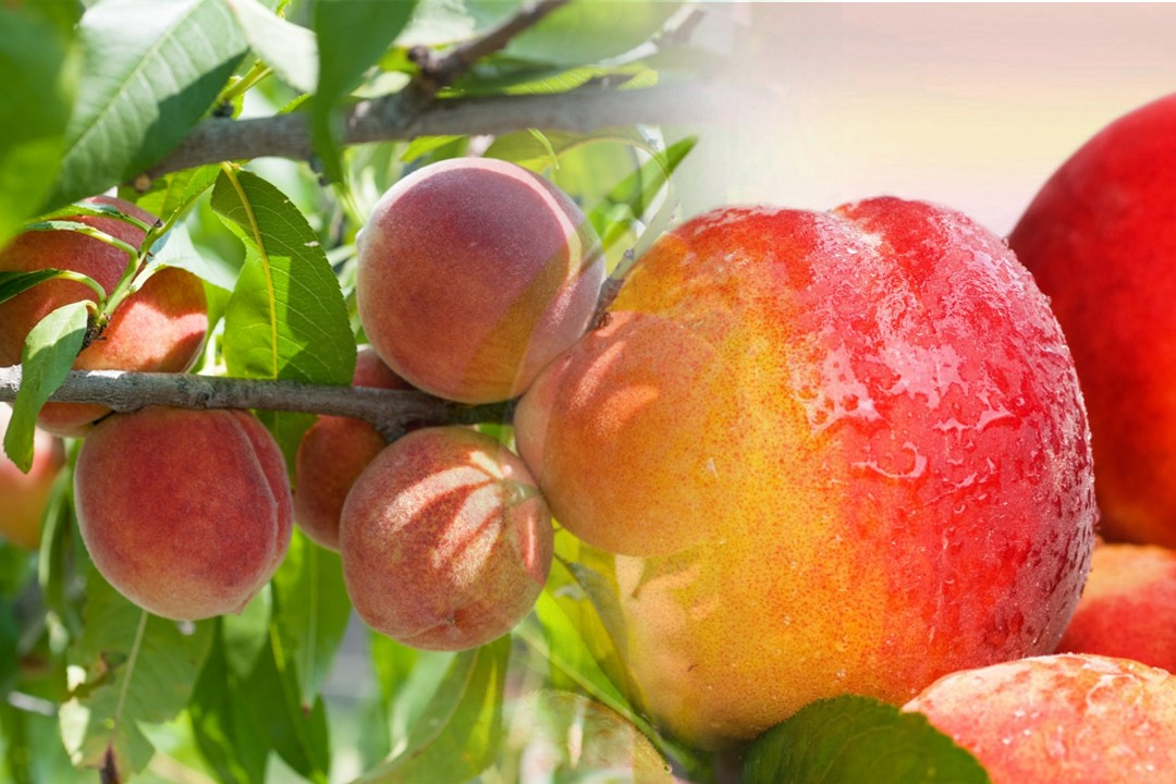 top quality peaches
