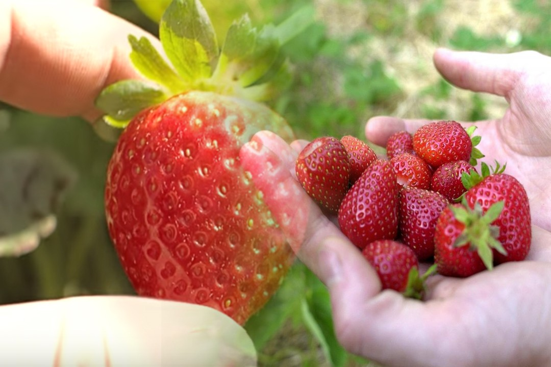 strawberry quality and production