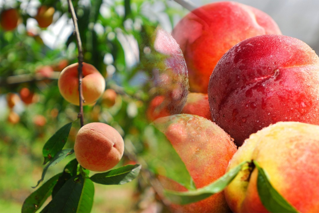 top countries with peach production in the world