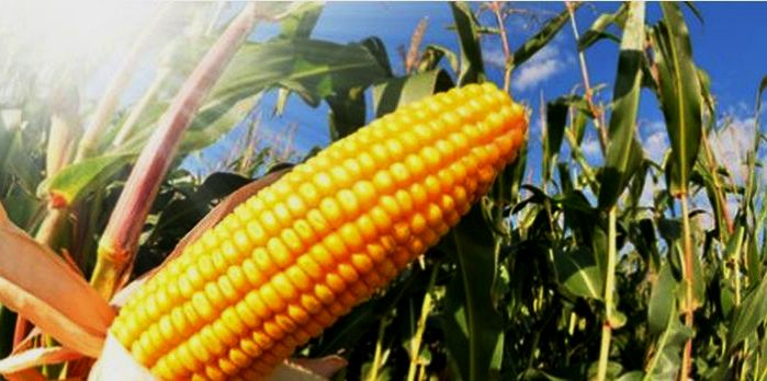 top 10 maize producing countries in the world