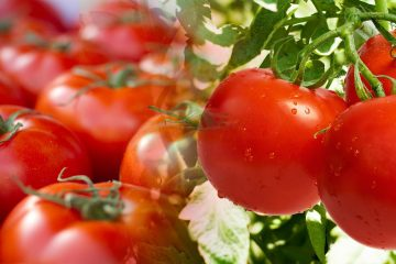 best quality tomatoes