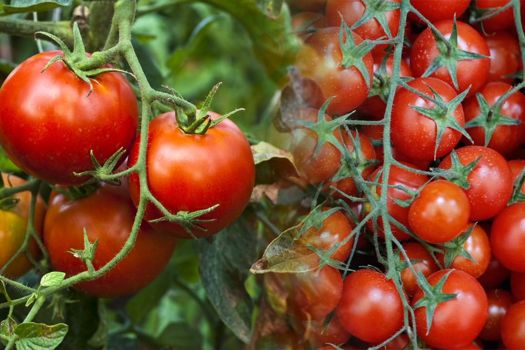 top countries with tomatoes production