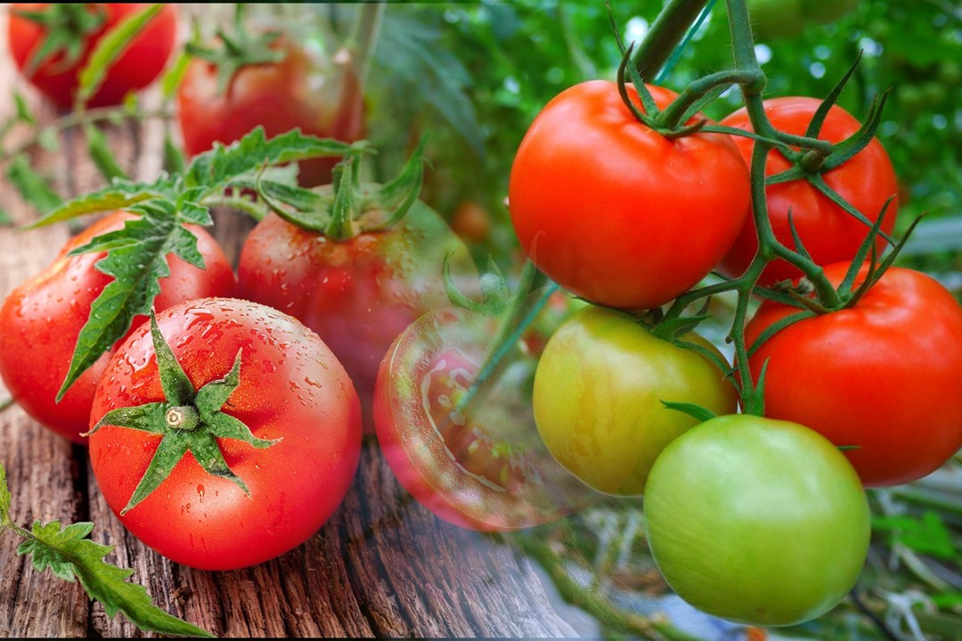 leading countries in tomatoes production