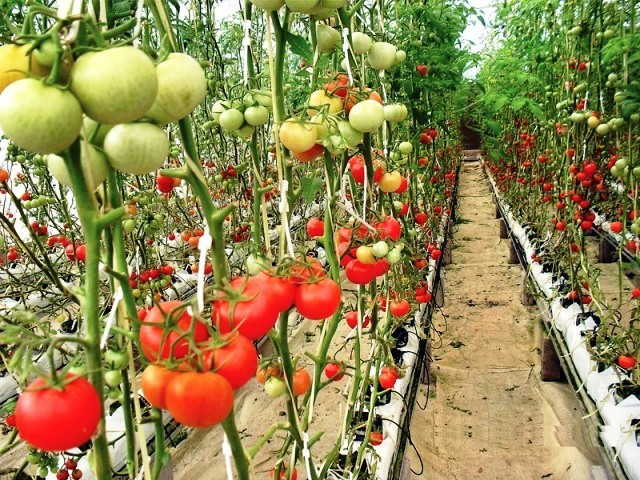tomatoes production by country